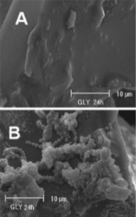 Fig. 6 Adesione di Streptococcus mutans ad una resina per uso odontoiatrico (B). Resina sterile (A). (13).