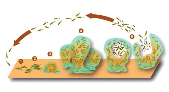 Fig. 8: fasi di formazione del biofilm.