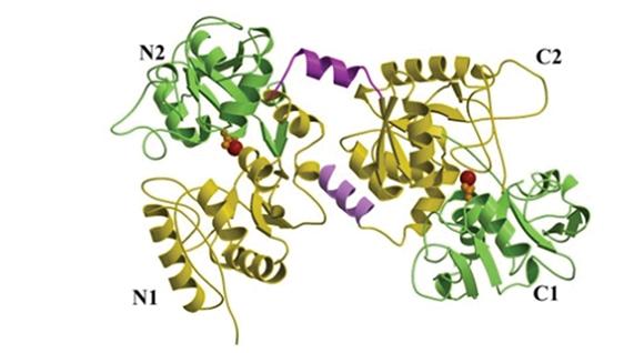Fig. 9 Struttura tridimensionale della lattoferrina (30).