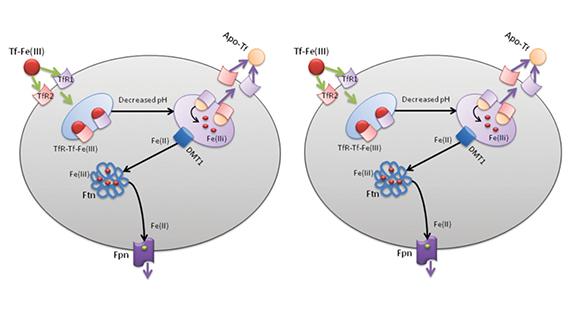 Fig. 11 Omeostasi cellulare del ferro. Omeostasi cellulare del ferro (A); Disordini dell'omeostasi del ferro (B) dove la Fpn è inibita ed il ferro libero ( ) è presente in eccesso.
