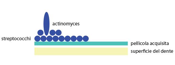Fig. 2 Formazione iniziale della placca dentale.