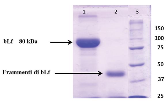 Elettroforesi in gel di poliacrilamide. 1: lattoferrina bovina (bLf) integra 15 mg. 2: lattoferrina bovina (bLf) 15 mg più proteasi batteriche (1:1) per 18 h a 37 °C. 3: pesi molecolari standard (kDa).